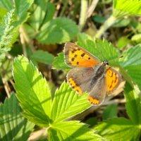 бабочка... :: Наталья Меркулова