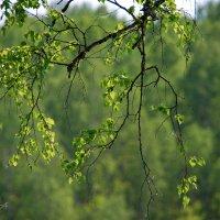 Зелёный Май :: Татьяна Аистова