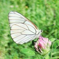 Бабочка Боярышница (Aporia cataegi L.) :: Генрих Сидоренко