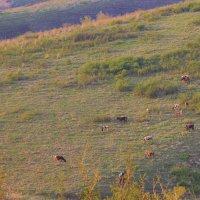 коровы на лугу :: сергей пейкер