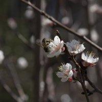 Абрикосики цветут, пчелки жужжат... :: Сергей Кириллович Виноградов