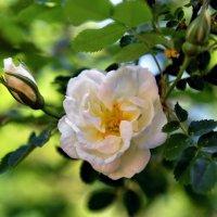Белый шиповник, дикий шиповник в память любви цветет. :: Тамара Бучарская