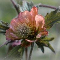 Цветок яртышника. :: Тамара Бучарская