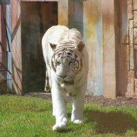 Белый тигр :: Валерий Новиков