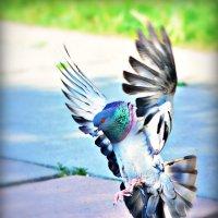 Повелитель голубей) :: Ксения Базарова