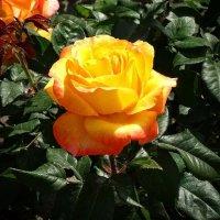 Розы  из монастыря 1 :: Владимир Бровко