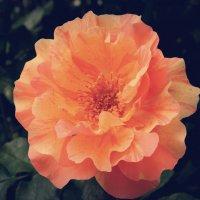 садовая роза :: Таня Новикова