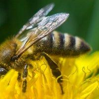 Пчелка-трудяга :: Даниил Карпов
