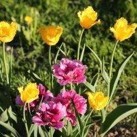 Тюльпаны :: Андрей Кузнецов