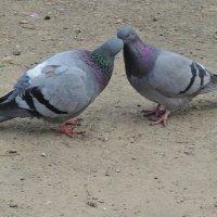 Голуби целуются... :: BEk-AS 62