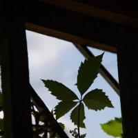 лист винограда вечером :: Арсений Корицкий