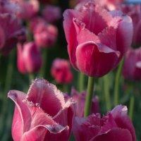 Тюльпаны :: валерия