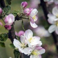 Яблони цвет :: Алексей Окунеев
