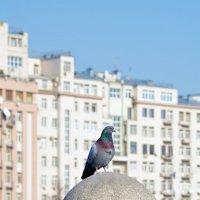 Московский голубь :: Александр Тарасенков