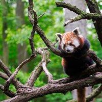 Красная панда :: Александр Чекмарев