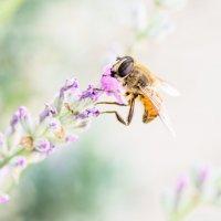 Bee :: Виталий Доарме