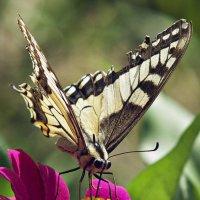 Papilio machaon :: Татьяна Губина