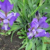 Весенние цветы :: раиса Орловская