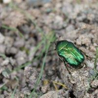 Майский жук :: Елена Севастьянова