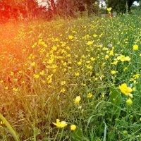 Полевые цветы :: Стася Реут