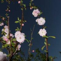 Цветы весны :: Евгения Беденко