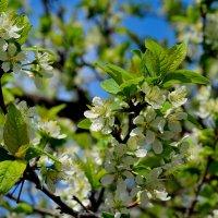 яблоня в цвету :: Владимир Васильев