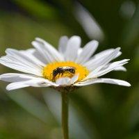 трудолюбивая пчелка :: Олеся Морозова