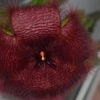 цветение кактуса :: Алина Кислинская