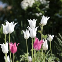 белое и розовое :: Виталий Житков
