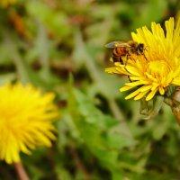 Пчёлка :: Ирина Трифонова