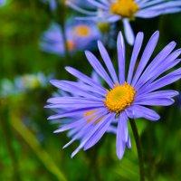 """А вот с цветом """"фиолетом""""-  повстречаться можно летом. :: Марина Захарова"""