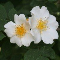 Два  цветочка :: Сергей Михальченко