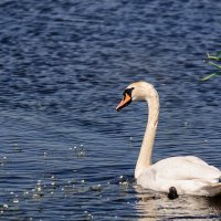 Лето 2014. Лебеди на шумилинском озере. :: Анатолий Клепешнёв