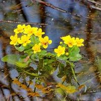 Цветы на воде. :: Наталья Юрова