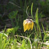Тюльпан, растущий на высоте 2.400 м. :: Larisa Gavlovskaya