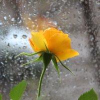 Роза на фоне дождя :: Гулько Т