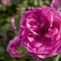 Сочная роза :: Виталий Бараковский