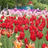 Фестиваль тюльпанов Крестовский остров СПБ :: Марина Маслова