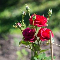 Розы :: Иван Щербина