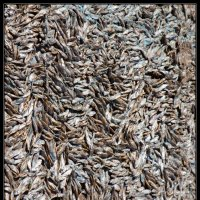 Новгородская рыбка :: Михаил Розенберг