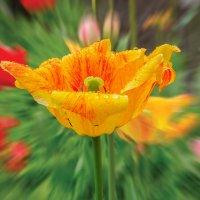 Желтый тюльпан :: Евгений Герасименко