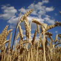 Пшеница :: Татьяна Пальчикова