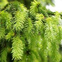 Fir-tree :: Анастасия Томилова