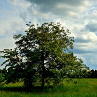 """Из серии: """"На ходу..."""" Дерево грецкого ореха. :: Маry ..."""