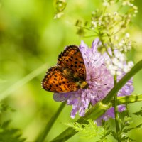 Бабочка :: Павел Данилевский