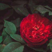Чайная роза :: Юлёна Рачкова