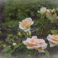 Чайная роза :: Svetlana Bikasheva