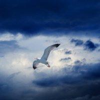 Парящая чайка перед началом грозы. :: Анатолий Клепешнёв