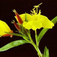Цветок :: Валерий Талашов