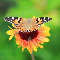 Бабочка :: Olga Volkova